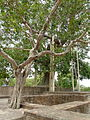Jetavan monastery - Anandabodhi tree (5703587458).jpg