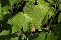 Johnsbach - Nationalpark Gesäuse - Blatt des Braunen Storchschnabels (Geranium phaeum).jpg