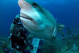 Joi feeding Carribean reef shark - Flickr - Joi.jpg