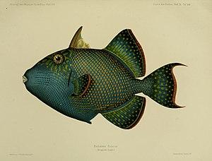 Johann Cesar VI. Godeffroy - Fische der Sudsee Journal Museum Godeffroy