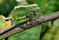 Julia Skimmer (Orthetrum julia subsp. falsum) Julia-skepper.jpg