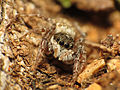 Jumping Spider (16381248346).jpg