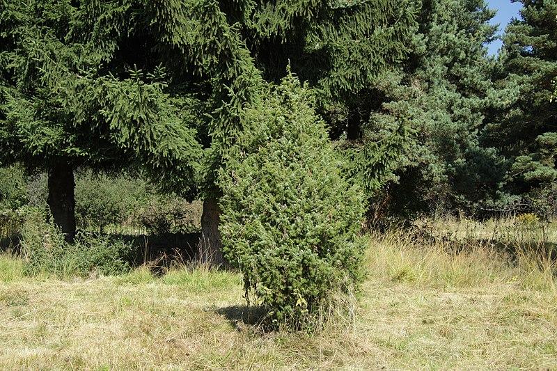 File:Juniperus communis in natural monument Poledni in 2011 (6).JPG