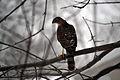 Juvenile Cooper's Hawk (Accipiter cooperi) (11809048596).jpg