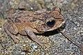 Juvenile Cuban Spotted Toad (Peltophryne taladai) (8575064650).jpg