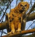 Juvenile Great Horned Owl at Fort DeSoto - Flickr - Andrea Westmoreland.jpg