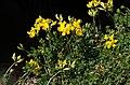 Käringtand (Lotus corniculatus) 001.jpg