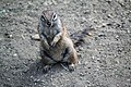 Kaapse grondeekhoorn (28444035226).jpg
