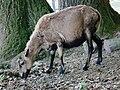 Kamerunschaf Bergtierpark Erlenbach.JPG
