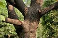 Kanak Champa (Pterospermum acerifolium) in Hyderabad W IMG 7123.jpg