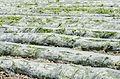 Karpuz tarlası - Watermelon field 02.jpg