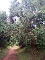Karura Nairobi Forest.jpg