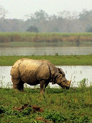 Indian rhinoceros - Indian rhinoceros at Kaziranga National Park, India