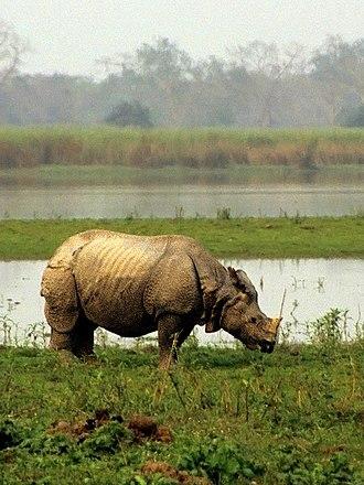 Indian rhinoceros - Indian rhinoceros at Kaziranga National Park, India