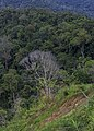 Keningau Sabah Withered-tree-in-rainforest-02.jpg