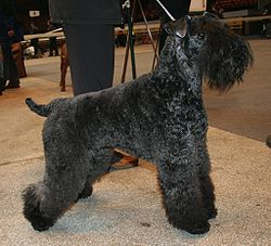 Kerry Blue Terrier Wallpaper