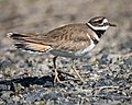 Killdeer (34506208181).jpg