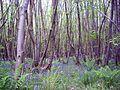 King's Wood, Kent 02.JPG