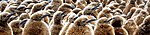 King Penguins (Youngs).jpg