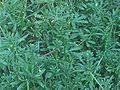 Kleefkruid planten (Galium aparine).jpg