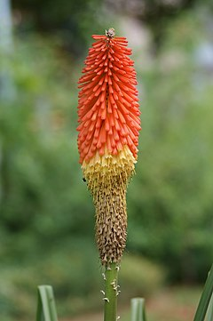 240px kniphofia uvaria einzeln recrop