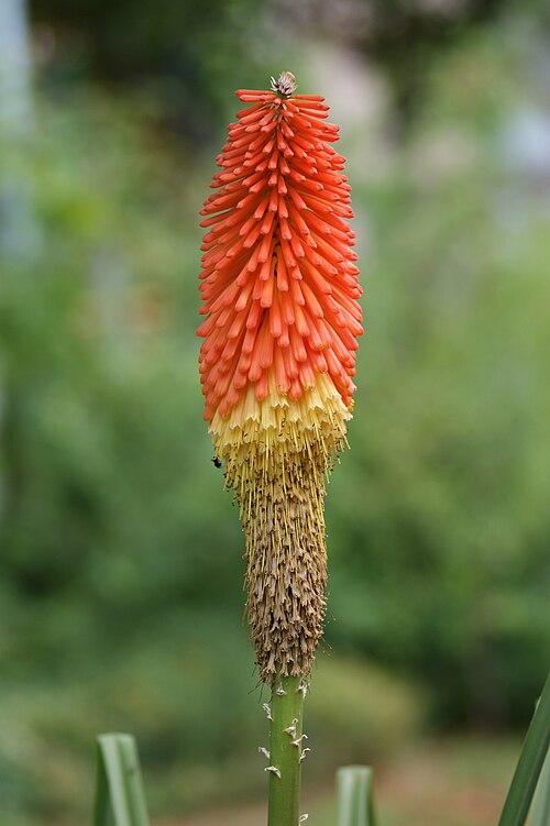 500px kniphofia uvaria einzeln recrop