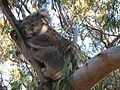 Koala on Phillip Island (500785618).jpg