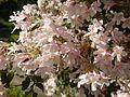 Kolkwitzia amabilis in Jardin des Plantes of Paris 03.jpg