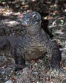Komodo Dragon Varanus komodoensis (7881471322).jpg