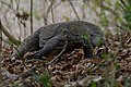 Komodo dragon (Varanus komodoensis) on Pulau Rindja - Indonesia 17.jpg