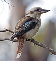 Kookaburra portrait.jpg