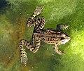 Koreanischer-garten-2011-frosch-ffm-097.jpg