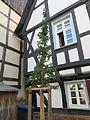 Kornelkirsche (Cornus mas), als Hochstamm gezogen.jpg