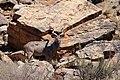 Kudu-1836 - Flickr - Ragnhild & Neil Crawford.jpg