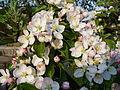 Květ stromu 1.JPG