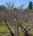 Kyoto, 桜, sakura, Ninnaji - Omnuru Saku - late blossom cherries - panoramio (1).jpg