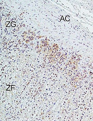 Calcium channel blocker - Image: L type D subtype Ca V1.3 calcium channel CACNA1D in human adrenal zona glomerulosa