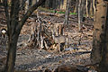 Lainzer Tiergarten Rehe 02.jpg