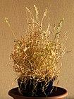 Lamarckia aurea20150810 3916.jpg