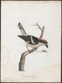 Lanius senator - 1786-1789 - Print - Iconographia Zoologica - Special Collections University of Amsterdam - UBA01 IZ16600429.tif