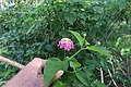 Lantana camara flowerhead DC4.jpg