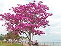 Lapacho rosado (Tabebuia)- Costanera de Posadas Misiones.JPG