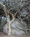 Large Adenia globosa behind tree.jpg