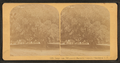 Large oak, 700 years old, Magnolia Cemetery, Charleston, S.C, from Robert N. Dennis collection of stereoscopic views 2.png