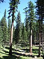 Larix occidentalis trees Okanogan.jpg