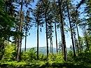 Las świerkowy w Beskidzie Śląskim.JPG