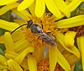 Lasioglossum spp. (male) (20439229890).jpg