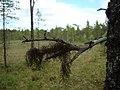 Lav på död gren med myr i bakgrunden.jpg