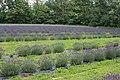 Lavandula angustifolia (8).jpg