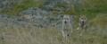 Le dernier loup - Les coulisses - les loups sur le tournage 9.png